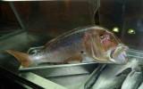 Wielka ryba