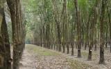 Las kauczukowy