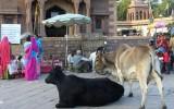 Bazarowe krowy