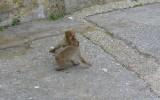 Małpia bitwa