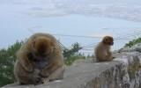 Magoty gibraltarskie