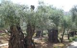 Jerozolima - Ogród Oliwny