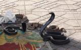 Tańcząca kobra