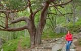 Najstarsze drzewo w Norwegii?