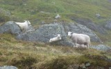 Uwaga owce