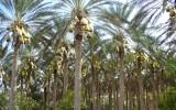 Las palmowy
